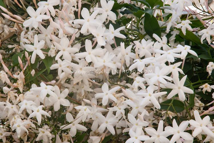 Jasminum polyantham jasmine vine