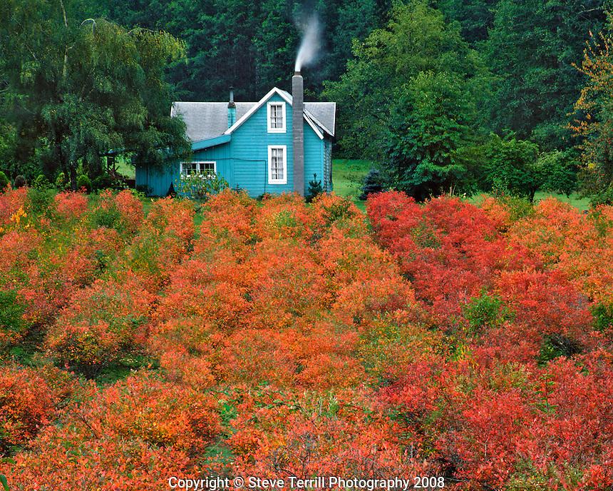 Blueberry farm in autumn in Clackamas County, Oregon