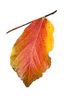 Cut out silhouette, Parrotia persica , Autumn foliage leaf in California garden, November 19