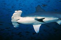 scalloped hammerhead sharks, Sphyrna lewini, Darwin Island, Galapagos, Ecuador, Pacific Ocean