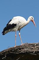 stork ctre cigognes loutres hunawihr alsace france