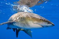 oceanic whitetip shark, Carcharhinus longimanus, Big Island, Hawaii, Pacific Ocean ( do )