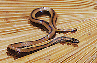 Black-Striped Snake, Coniophanes imperialis, adult on dead palm frond, The Inn at Chachalaca Bend, Cameron County, Rio Grande Valley, Texas, USA, May 2004