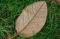 hoja seca de un árbol, dry  leaf of a tree.  Photo: VizzorImage / Str