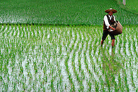 Rice farmer spreading fertilizer. Guanzhou, China Rice fields.