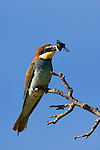 European Bee-eater (Merops apiaster) with Bumblebee (Bombus sp) prey, Maubec, Luberon Valley, Provence, France