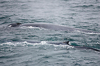 Blue whale Balaenoptera musculus Pair surfacing together Spitzbergen Barents sea North east Atlantic