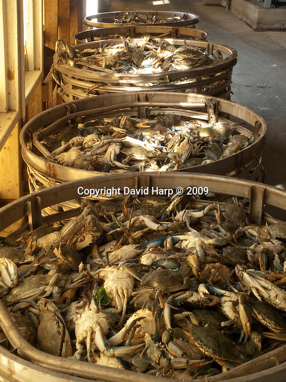 steaming crabs at MeTompkin Bay Seafood Co., Crisfield, MD