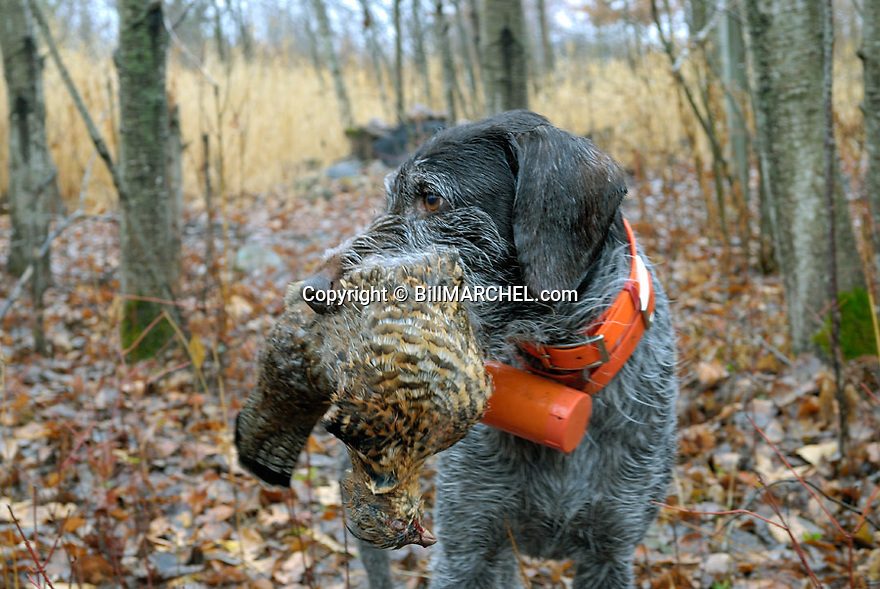 00279-021.08 Deutsch Drahthaar poses with ruffed grouse in typical cover.  Hunt, dog.