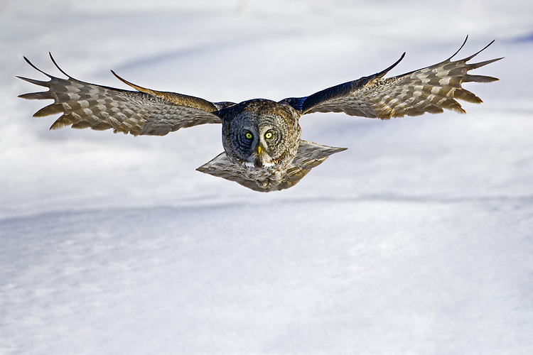 Great Gray Owl (strix nebulosa) soaring over a snowy field with its wings stretched widely near Opal, Alberta, Canada