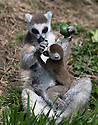 """16/05/16<br /> <br /> """"I'm hungry!""""<br /> <br /> Three baby ring-tail lemurs began climbing lessons for the first time today. The four-week-old babies, born days apart from one another, were reluctant to leave their mothers' backs to start with but after encouragement from their doting parents they were soon scaling rocks and trees in their enclosure. One of the youngsters even swung from a branch one-handed, at Peak Wildlife Park in the Staffordshire Peak District. The lesson was brief and the adorable babies soon returned to their mums for snacks and cuddles in the sunshine.<br /> All Rights Reserved F Stop Press Ltd +44 (0)1335 418365"""