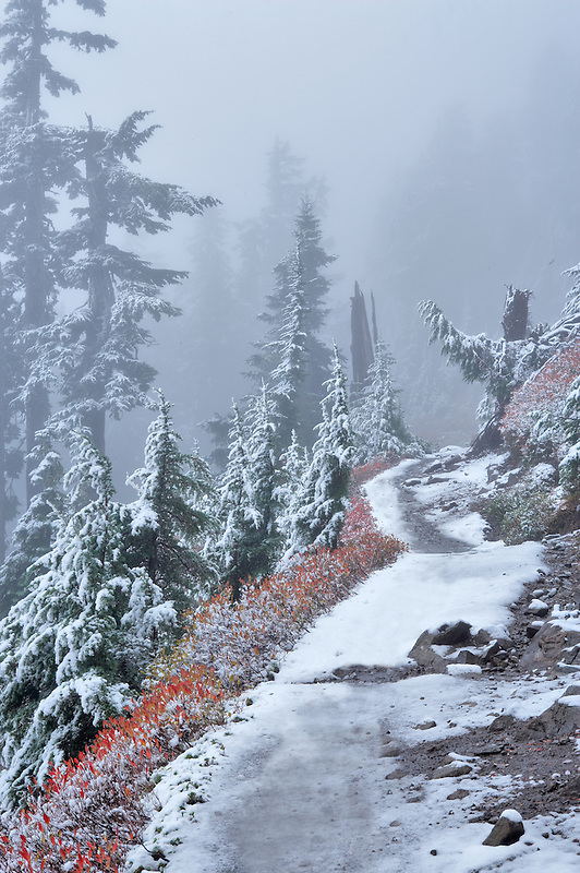 Trail and huckleberry in fall color with forest and fog and first snow of fall. Mt. Baker Wilderness. Washington