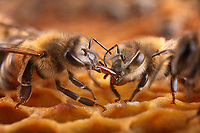 Honeybees Trophallaxis and close-up