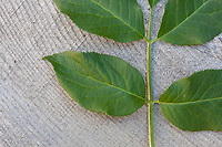 Schwarzer Holunder, Sambucus nigra, Blatt, Blätter, Elder, Common Elder, Elderberry, leaf, leaves, Sureau commun, Sureau noir