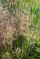 Deschampsia caespitosa 'Schottland' ornamental grass with Panicum virgatum 'Northwind'