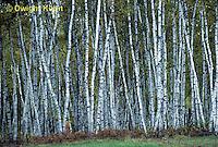 TT14-001c  Forest - white birch - Betula papyrifera