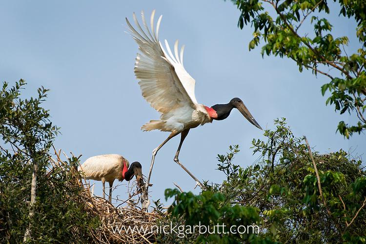 Jabiru Storks (Jabiru mycteria) nesting in forest on the banks of the Cuiaba River. Northern Pantanal, Brazil.
