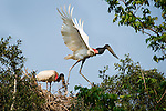 Jabiru Storks (Jabiru mycteria) nesting in forest on the banks of the Cuiaba River. Northern Pantanal, Brazil.
