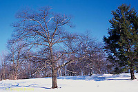 TT18-065z  Oak - in winter - Quercus spp.