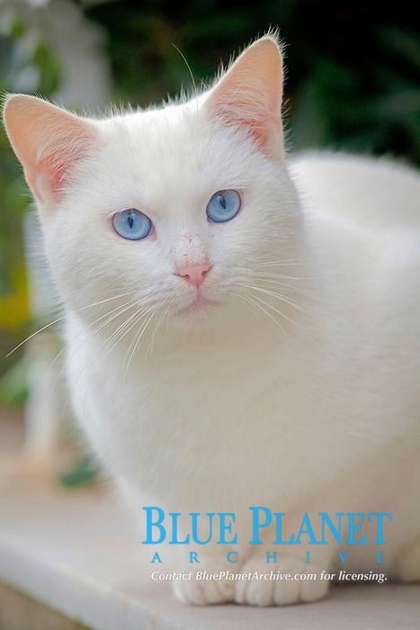 domestic cat, or house cat, Felis catus, white, Greece
