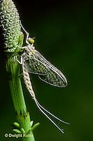 1E14-024x  Mayfly - subimago male - Siphlonisca aerodromia - endangered insect, Maine stream