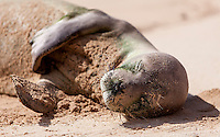 Hawaiian monk seal sleeping at Gillin's Beach (part of Maha'ulepu Beach), south shore of Kaua'i