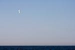 Buller's Shearwater (Puffinus bulleri) flying over ocean, Monterey Bay, California