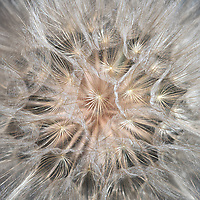 Close-up of a yellow salsify weed.  Thirty images stacked together to achieve detail and narrow depth of field.