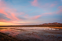 7:00 am. Snow Geese (Chen caerulescens) and Sandhill Cranes (Grus canadensis) have spent the evening on the water. As the sun rises over Bosque, the birds prepare to take off, in search of a place to feed. The light, sky and clouds in Bosque can combine to form incredible scenes. This moment was particularly peaceful, even with the Snow Geese honking away.<br />  <br /> Bosque del Apache National Wildlife Refuge, New Mexico.