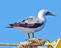 Adult masked booby perched on shrimp boat