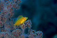 Yellow Hawkfish, Cirrhitichthys aureus, Futo, Sagami bay, Izu peninsula, Shizuoka, Japan, Pacific Ocean