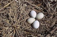 Rohrweihe, Ei, Eier, Gelege im Nest, Horst, Bodennest, Rohr-Weihe, Weihe, Circus aeruginosus, marsh harrier