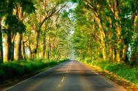 """Tree lined """"Tunnel of Trees"""". Eucalyptus. Kauai, Hawaii"""