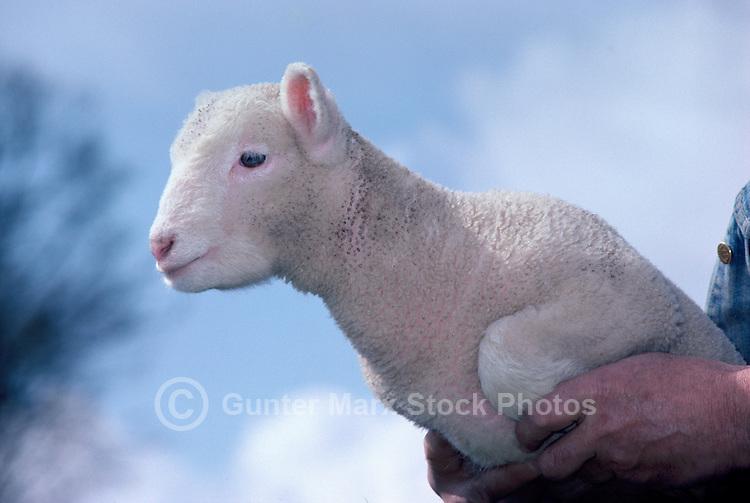 Lamb on Farm, Fraser Valley, Southwestern BC, British Columbia, Canada