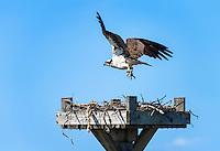 Osprey landing in salt marsh nest, Delaware, USA