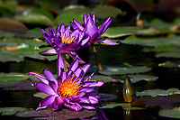 Water Lilies 6386