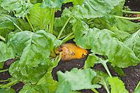 Futterrübe, Runkelrübe, Futter-Rübe, Runkel-Rübe, Runkel, Rübe, Rüben, Beta vulgaris subsp. vulgaris, Beta vulgaris var. rapacea, Mangelwurzel, mangold wurzel, root, field beet