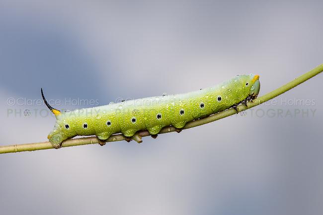 Snowberry Clearwing Moth (Hemaris diffinis) caterpillar (larva).
