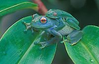 Vohiparara Bright-eyed Frog (Boophis elenae), pair mating, Ranomafana National Park, Madagascar - Andasibe-Mantadia National Park - Madagascar