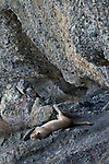 Mountain Lion (Puma concolor) female sleeping on cliff, Torres del Paine National Park, Patagonia, Chile