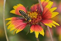 Leafcutter bee, solitary bees (Megachile sp.), adult feeding on Indian Blanket, Fire Wheel (Gaillardia pulchella), Texas, USA