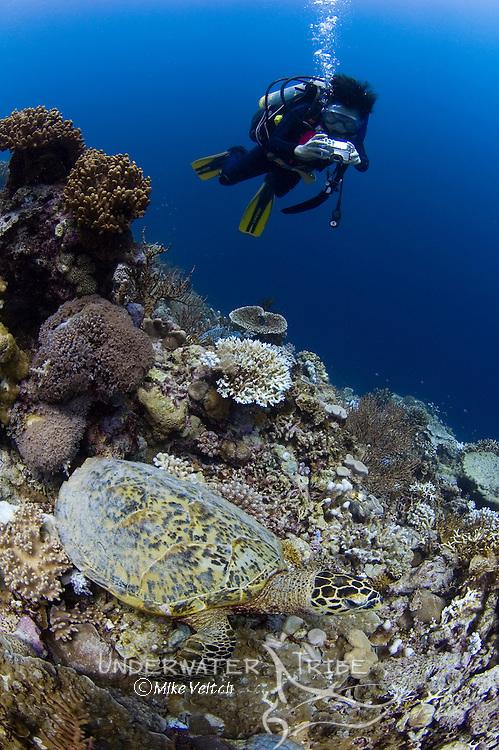 Hawksbill turtle, Eretmochelys imbricata, and diver, Layang Layang atoll, Sabah, Borneo, Malaysia, South China Sea, Pacific Ocean