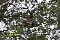 1Z09-502z  Wild Turkey roosting in tree, Meleagris gallopavo