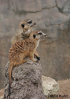 0214-08yy  Pair of Meerkats on Lookout, Suricata suricatta © David Kuhn/Dwight Kuhn Photography