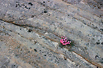 Bright pink blooming Desert Phlox springs forth from the rocks in southern Utah.