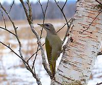 Grauspecht, Weibchen, Grau-Specht, Erdspecht, Erdspechte, Picus canus, grey-headed woodpecker, grey-faced woodpecker, female, Le Pic cendré