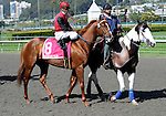 10 April 10: Massone in the post parade before the grade 2 San Francisco Mile Stakes for four year olds and upward at Golden Gate Fields in Berkeley, California.