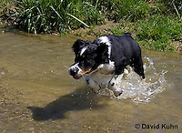 0730-0836  Tricolor English Springer Spaniel Puppy Jumping in Water, Canis lupus familiaris © David Kuhn/Dwight Kuhn Photography