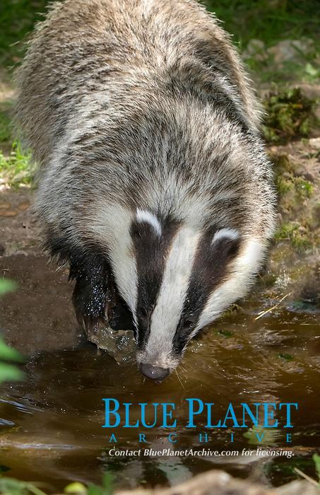 European badger, or Eurasian badger, Meles meles, drinking water, Normandy, France, Europe