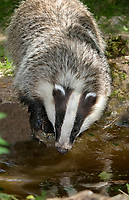 European badger, or Eurasian badger, Meles meles, drinking water, Normandy, France, Europe
